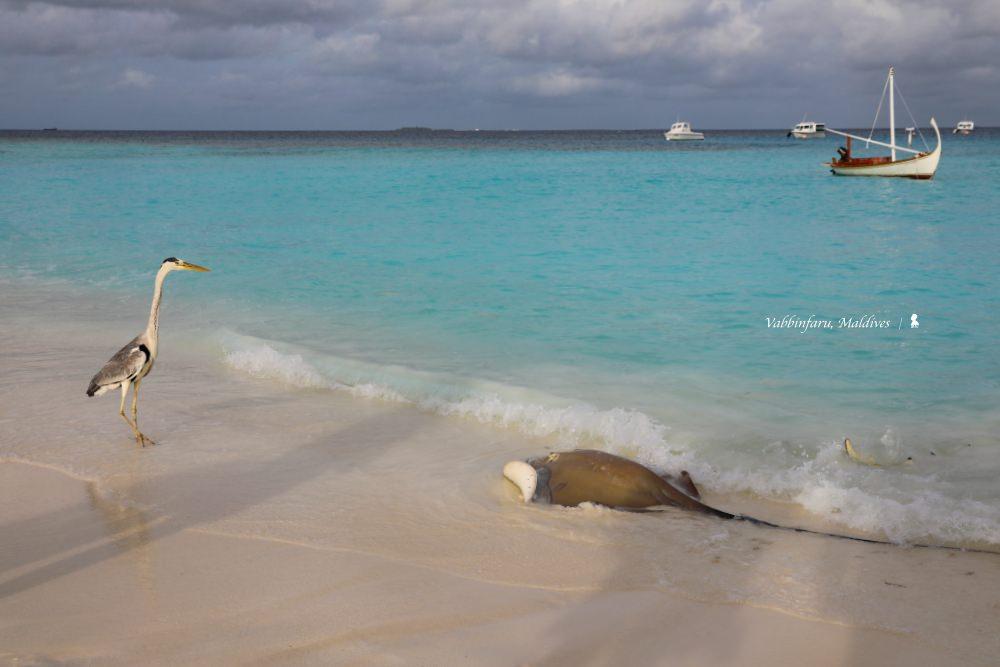 種珊瑚、野生魟魚餵食秀  馬爾地夫悅榕度假村讓頂級客群成海洋保育種子