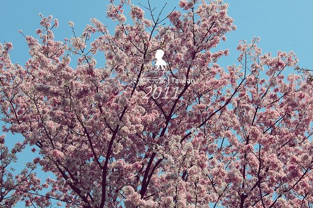 春日陽陽,淡水天元宮的 2011 最新版櫻吹雪上演中