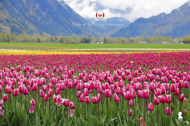 五月的溫哥華很荷蘭  求見菲沙河谷的鬱金香大地花毯