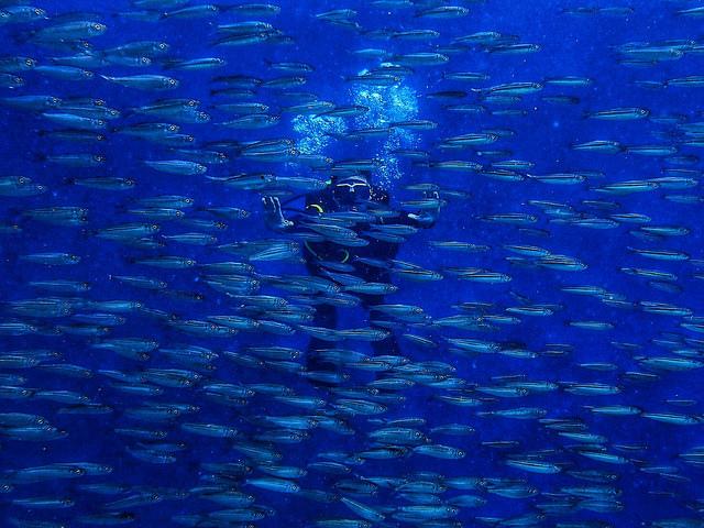密集恐懼症勿進>> 浮潛可見  菲律賓宿霧的沙丁魚風暴此生必看